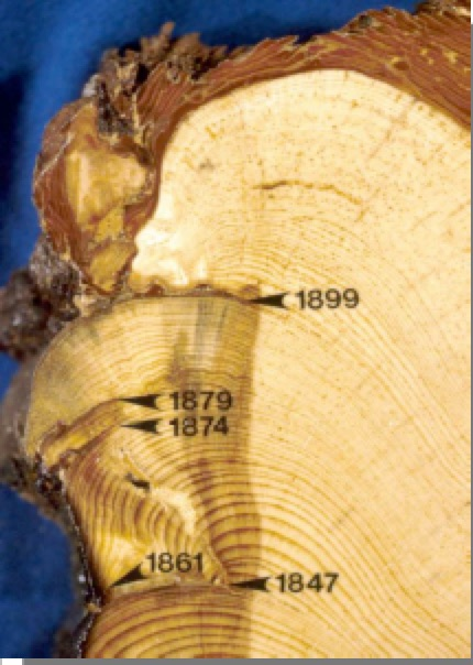 Tree ring dating activity group